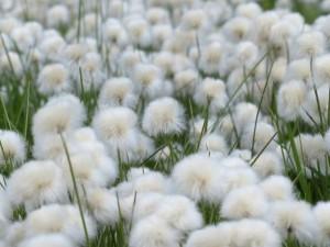 引用:https://pixabay.com/ja/scheuchzers-cottongrass-175410/